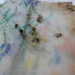 Wietzaden ontkiemd op keukenpapier