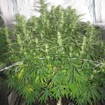 female seeds grapefruit 6 weken bloei