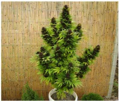 Dutch passion seeds regular for Cannabis floraison exterieur