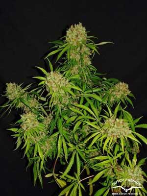 branche violette cannabis
